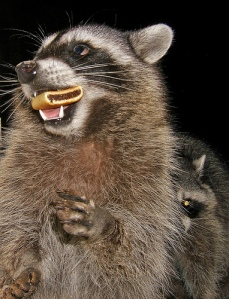 Raccoon Eating a Fig Newton