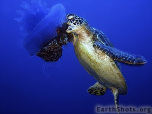 Turtle eats jellyfish