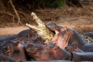 Hippo eating Alligator