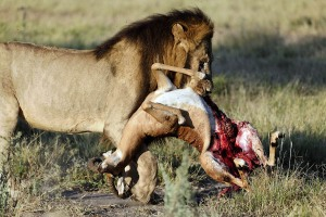 Lion eating a deer